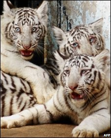 White Bengal tigers at an Indian zoo