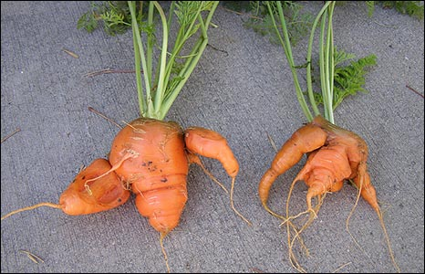 Carrots by K Reilly