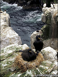 A pair of shags (Image: Joe Cornish/NTPL)