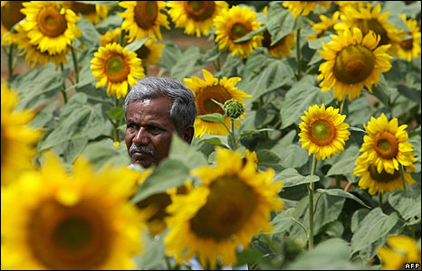 Indian farmer in a field of sunflowers at an agriculture fair in Bangalore