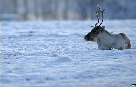 A reindeer takes a rest on a snowy field in Lapland.