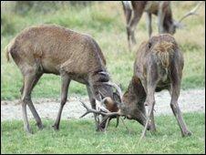 Deer - pic BBC