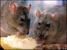 Rats feeding (file pic)