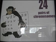 monkey with 24 pairs of chromosomes