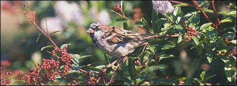 Sparrow (BBC)