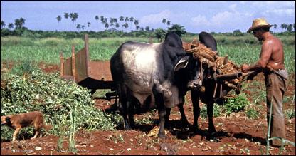 Кубинский крестьянин с быками