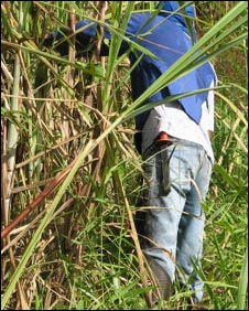 cutting sugarcane with machetes