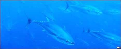 Bluefin tuna (SPL)