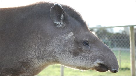 Brazilian tapir Tara