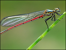 Large Red Damselfly (Pyrrhosoma nymphula) - Photograph from Charlie McCartney