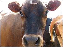 Vacas en el tambo de la familia Lecchini en Uruguay