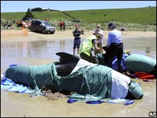 Whales stranded in Tasmania on 23 November 2008 (Image: Tasmanian Department of Primary Industry and Water)