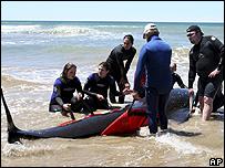 Voluntarios intentando rescatar a ballenas varadas en Tasmania, 24 noviembre 2008