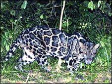 The clouded leopard is rarely seen in the wild