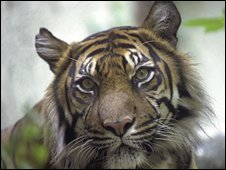 The Sumatran tiger is restricted to remaining jungle