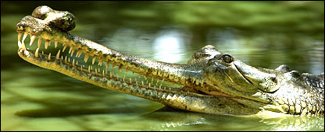 Gharial