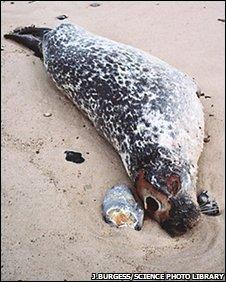 Harbour seal killed by phocine distemper virus (PDV)