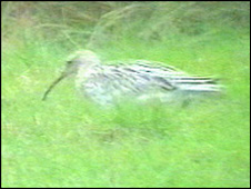 Possible slender-billed curlew (Photo copyright: Jeff B. Higgott)