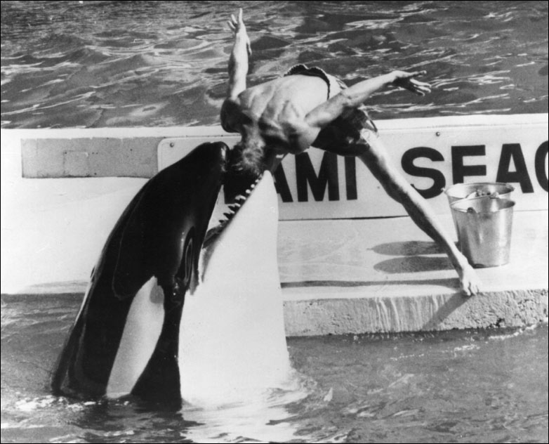 killer whale attacks trainer Killer Whale Kills Trainer as