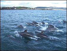 Dolphins off Manx coast