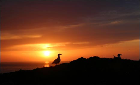 Gulls at sunset on Skokholm Island