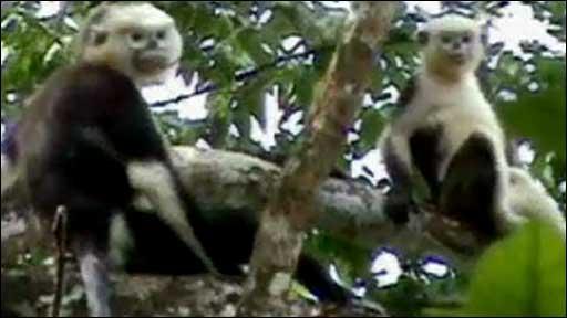 Tonkin snub-nosed monkey (Le Khac Quyet)