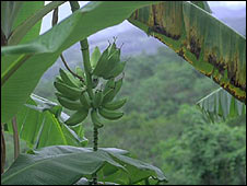 Bananas growing in the Peruvian rainforest
