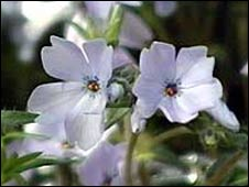 Moss Phlox - library picture
