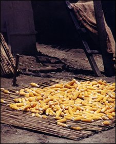 Corn drying in Nepal