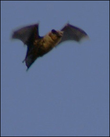 South Uist bat. Pic: Steve Duffield