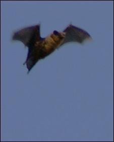 South Uist bat. Pic: Steve Duffield