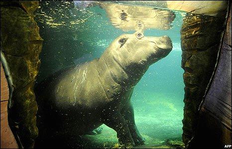 A hippopotamus at Hanover zoo, Germany