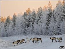 Reindeer crossing the road in Lapland