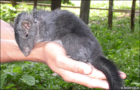 Laotian rock rat (Image: David Redfield)