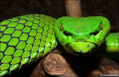 Gumprecht's green pitviper (Image: Piyawan Niyomwan)