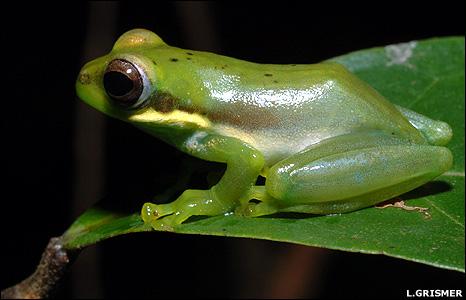 Chiromantis samkosensis (Image: Lee Grismer)