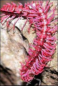 Ciempiés rosado Desmoxytes purpurosea  (FOTO: Somsak Panha, WWF)