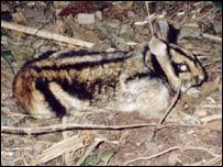 Conejo rayado, Nesolagus timminsi (FOTO: Trinh Viet Cuong, WWF)