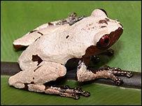 Theloderma licin (FOTO: Daicus Belabut -WWF)