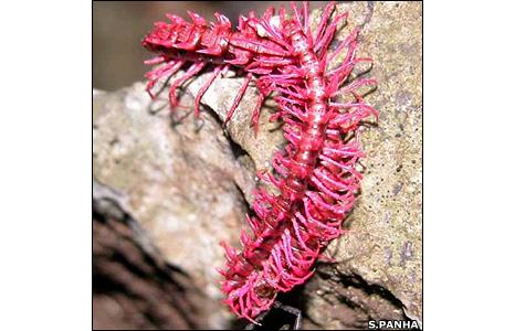 Dragon millipede (Image: Somsar Panha)