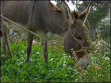 Cynthia eating grass outside Nazareth