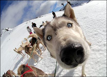 This inquisitive husky dog in New Zealand has a nose at the camera