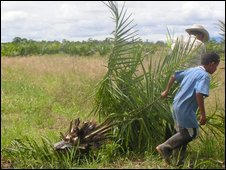 Afro-Colombian dragging a palm oil tree off illegally seized land