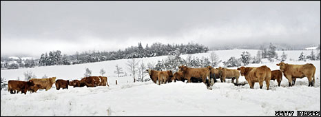 Cows in snowy field