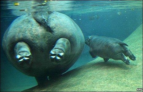 Hippos in Berlin Zoo, Germany