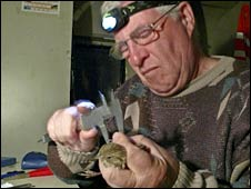 Alan Brooks measures a bird