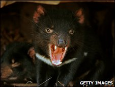 A Tasmanian Devil