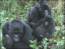 Three gorillas that survived the 2007 massacre (Image: Gorilla.cd)