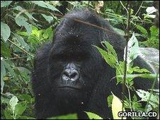 Bukima, a silverback mountain gorilla (Image: Gorilla.cd)