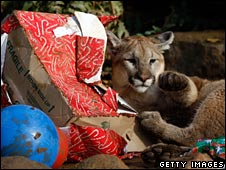 Cougar ripping into present
